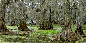 Cypress Trees (Thuja genus) draped in Spanish Moss (Tillandsia usneoides) in swamp, Louisiana, USA  -  George McCarthy