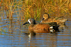 Male and female Blue-winged Teal (Anas discors) on water, Arkansas Refuge, Texas, USA  -  George McCarthy