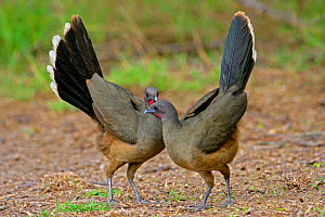 Plain Chachalaca (Ortalis vetula) males displaying, Rio Grande valley, Texas, USA  -  George McCarthy