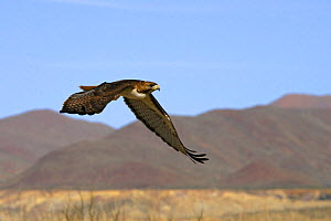 Red-tailed Hawk (Buteo jamaicensis) in flight, Big Bend National Park, Texas, USA  -  George McCarthy