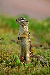 Mexican Ground Squirrel at burrow entrance. NM, USA - George McCarthy