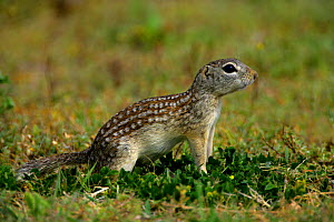 Mexican Ground Squirrel (Spermophilus mexicanus)  NM, USA - George McCarthy