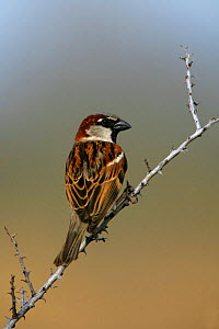 Male House / Common Sparrow (Passer domesticus) in NM, USA - George McCarthy