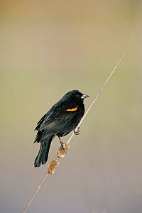 Red-winged Blackbird (Agelaius phoeniceus) perched on dead stick, NM, USA - George McCarthy