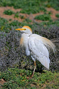Cattle Egret (Bubulcus ibis) in breeding plumage, NM, USA - George McCarthy
