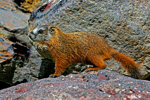 Juvenile Yellow-bellied Marmot (Marmota flaviventris) Yellowstone NP, Montana, USA  -  George McCarthy