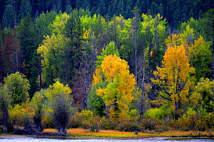 Aspens (Populus tremula) and other assorted trees in Autumn colours, Grand Teton National Park, Wyoming, USA - George McCarthy