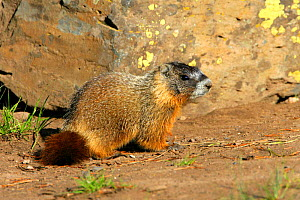 Juvenile Yellow-bellied Marmot (Marmota flaviventris) Yellowstone National Park, Montana, USA  -  George McCarthy