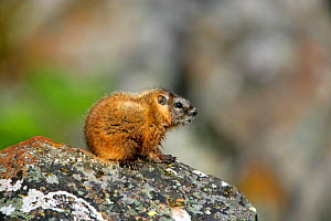 Juvenile Yellow-bellied Marmot (Marmota flaviventris)Yellowstone National Park, Montana, USA  -  George McCarthy