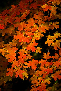 Orange coloured leaves of a Sugar Maple (Acer saccharum) in Autumn, Wyoming, USA  -  George McCarthy