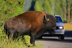 Large Bison {Bison bison} crossing road in front of car, Yellowstone NP, Montana, USA  -  George McCarthy