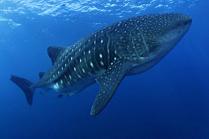 Whale Shark (Rhincodon typus) Galapagos Islands,  Pacific Ocean - Brandon Cole