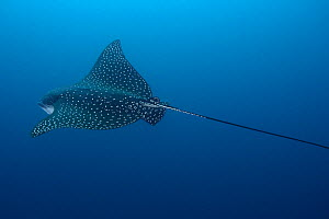 Top view of Pacific white-spotted Eagle Ray (Aetobatus laticeps), Galapagos, Pacific Ocean  -  Brandon Cole