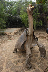 """Galapagos Giant Tortoise (Geochelone elephantopus) with stretched out neck to reach for food. Long neck and """"saddleback"""" shell allow this subspecies to feed high off the ground. Charles Darwin Researc...  -  Brandon Cole"""