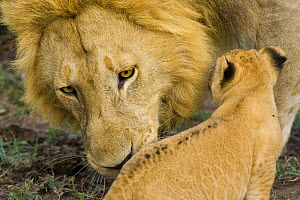 Male African Lion (Panthera leo) smelling cub (5 weeks) after mother has introduced the cub to her pride members for the first time, Masai Mara Reserve, Kenya  -  Suzi Eszterhas