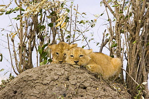 Two African Lion (Panthera leo) cubs (7-8 weeks) huddled together alone ontop of termite mound whilst mother is hunting, Masai Mara Reserve, Kenya  -  Suzi Eszterhas
