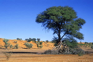 Camel Thorn tree (Vachellia erioloba) in dry riverbed of Auob River, Kalahari desert, Kgalagadi Transfrontier Park, South Africa  -  Philippe Clement