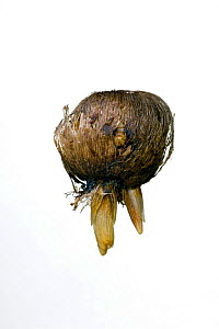 Crocus (Romulea) bulb with shoots  -  Philippe Clement