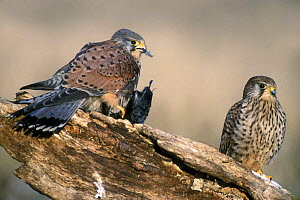Two Kestrels (Falco tinnunculus) feeding on dead Blackbird (Turdus merula) Belgium  -  Philippe Clement