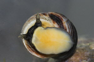 Common periwinkle (Littorina littorea) underwater, viewed from the underside showing foot, captive UK  -  Simon Colmer