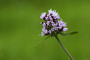 Water Mint (Mentha aquatica) Stedham Common Nature Reserve, Sussex, UK  -  Simon Colmer