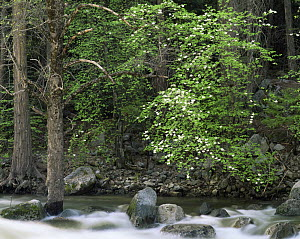 Pacific Dogwood (Cornus nuttallii) flowering on the banks of the Merced River, Yosemite valley, Yosemite National Park, California  -  Jack Dykinga