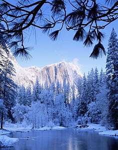 View of Yosemite Falls amid fog with snow covered Ponderosa Pines (Pinus ponderosa) and the Merced River in foreground. Framed by Ponderosa Pine boughs, Yosemite National Park, California  -  Jack Dykinga