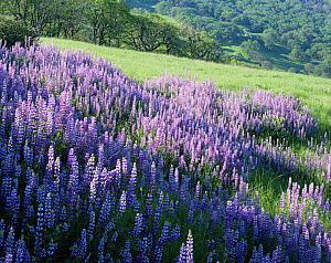 Large group of flowering Lupines (Lupinus latifolious) on hillside with Oregon White Oaks (Quercus garryana) in background, Redwood National Park, Bald Hills, California.  -  Jack Dykinga