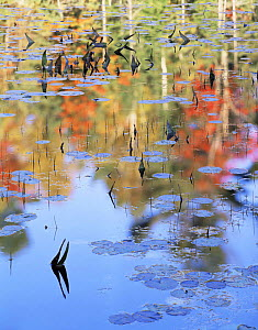 Autumn tree colours reflected on the Mahzenazing River, Water Lillies (Nuphar variegatum) and Water Arum (Calla palustris) on surface, Killarney Provincial Park, Ontario, Canada  -  Jack Dykinga