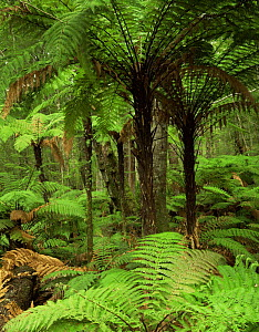 Rough Tree Ferns (Dicksonia squarrosa) and Silver Beech (Nothofagus menziesii) in forest, Kepler Track, Fiordland National Park, South Island, New Zealand - Jack Dykinga