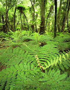 Soft Tree Ferns (Balantium antarcticum) in lowland rainforest, Whakapohai Wildlife Refuge, South Island, New Zealand - Jack Dykinga