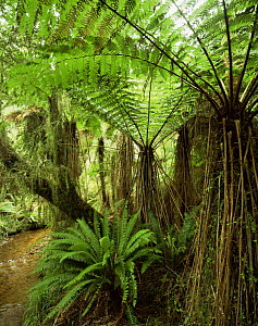Soft Tree Ferns (Cyathea smithii) with Crown Ferns (Blechnum discolor) below, Whakapohai Wildlife Refuge, South Island, New Zealand  -  Jack Dykinga