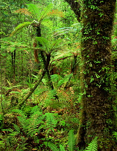 Moss and ferns in lowland rainforest, Westlands National Park, South Island, New Zealand  -  Jack Dykinga