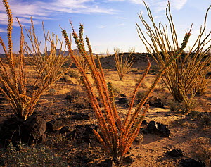 Ocotillos (Fouquieria splendens) established on the Pincata Lava flow, dawn, Cabeza Prieta National Wildlife Reserve, Arizona  -  Jack Dykinga
