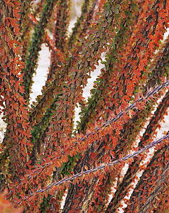 Close-up of colourful leaves and spines of an Ocotillo (Fouguieria splendens), leaves turn red in dry season after the wet season, Tinajas Atlas Mountains, Goldwater Range, Arizona  -  Jack Dykinga