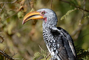 Southern yellow billed hornbill {Tockus leucomelas}  Kruger National Park, South Africa  -  Gabriel Rojo