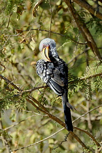 Southern yellow billed hornbill {Tockus leucomelas} preening, Kruger National Park, South Africa  -  Gabriel Rojo