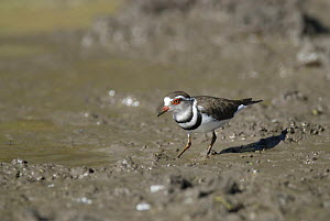 Three banded sand plover {Charadrius tricollaris} Santa Lucia estuary, Greater St Lucia Wetland Park, KwaZulu-Natal, South Africa  -  Gabriel Rojo