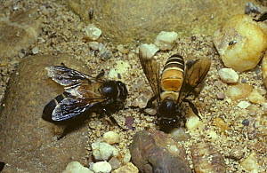 Giant oriental honey bee (Apis dorsata) worker bees drinking on riverside sand in rainforest, Malaysia - PREMAPHOTOS