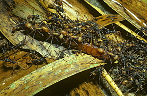 Army ant (Eciton burchelli) workers co-operating to carry a large centipede prey back to their bivouac, in rainforest, Trinidad  -  PREMAPHOTOS