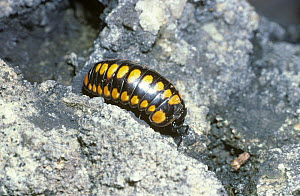 Warningly coloured pill millipede (Glomeris connexa) France  -  PREMAPHOTOS
