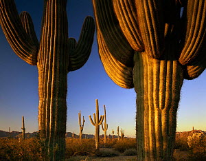 Trunks of Saguaro Cacti (Carnegiea gigantea) at sunrise, Cabeza Prieta National Wildlife Refuge, Arizona. January 1st 2000  -  Jack Dykinga