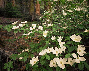 Pacific Dogwood (Cornus nuttallii) in flower with Sequoia and White Fur tree trunks in background, Sequoia National Park, California  -  Jack Dykinga