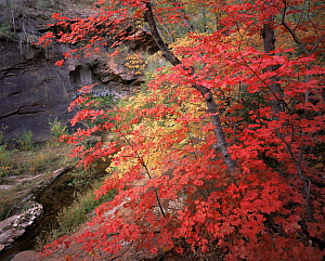 Red and Yellow coloured Bigtooth Maples (Acer saccharum grandidentatum) in Autumn, West Fork Oak Creek, Coconino National Forest, Arizona  -  Jack Dykinga