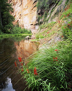 West Fork Oak Creek with flowering Cardinal Flower (Lobelia cardinalis) Coconino National Forest, Arizona  -  Jack Dykinga