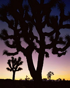 Joshua trees (Yucca brevifolia) silhouetted against dawn sky, Death Valley National Park, California  -  Jack Dykinga