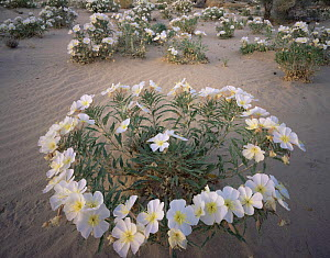 Birdcage Evening Primrose (Oenothera deltoides) in flower, Joshua Tree National Park, California - Jack Dykinga