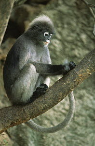 Juvenile Dusky Leaf Monkey (Trachypithecus obscurus) grooming his tail searching for fleas, Thailand 1996  -  Elio Della Ferrera