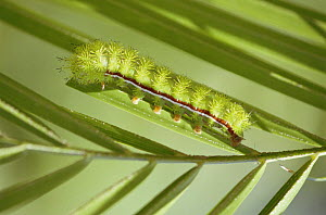 Caterpillar larva of Io moth {Automeris io} Florida subspecies, Florida, USA - Steven David Miller