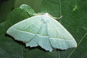 Common / Light emerald moth {Hemithea aestivaria} Scotland, UK  -  Duncan Mcewan